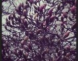 My Neighbours&#8217; Magnolia Trees
